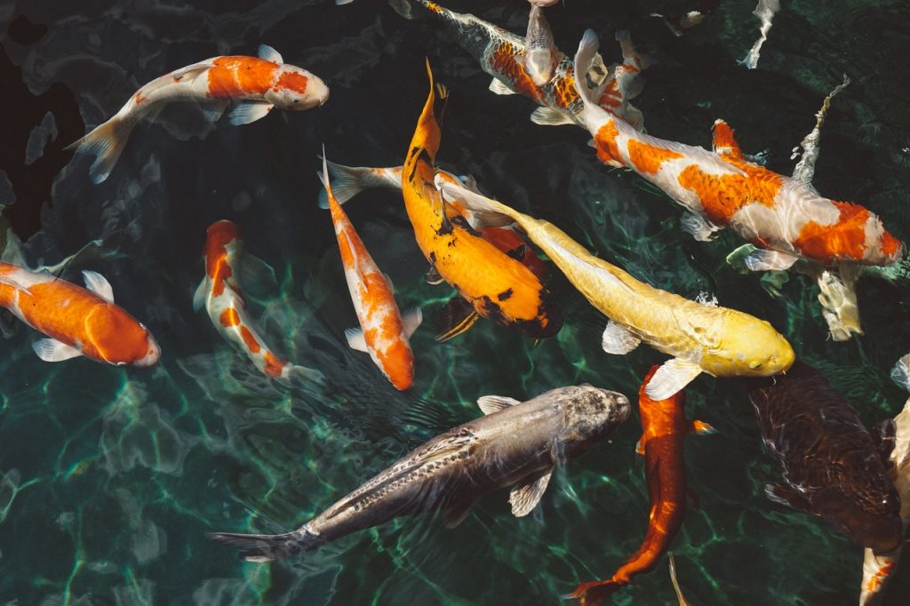 Plusieurs carpes Koi dans un bassin